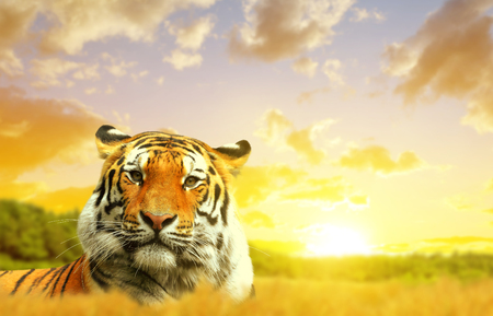 wild asia: Siberian Tiger in the sunset.