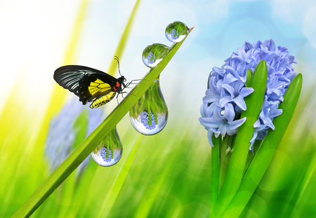 Spring flower hyacinth and dew drops on green grass with butterfly.