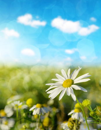 Daisy blooming in the meadow in sunny day. Spring season. Stock Photo