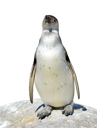 vertebrate animal: The Humboldt Penguin (Spheniscus humboldti) on white background