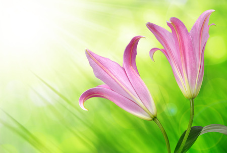 pink flowers: Pink lily flowers on green natural background