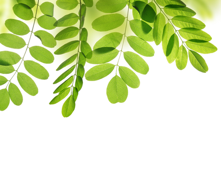 spring leaf: Fresh green spring leaf of Acacia or Black Locust on white background. Stock Photo