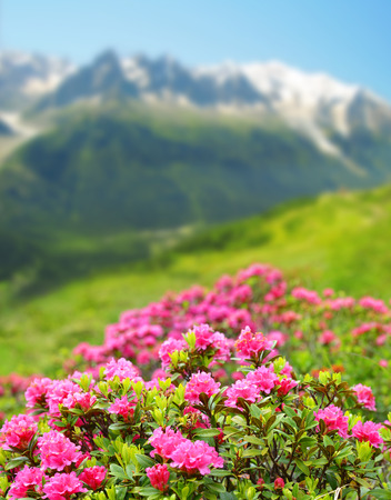 Blooming azalea in Savoy Alps, in the background Mount Blanc,France.