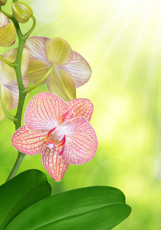 carpel: Pink orchid on green natural background.