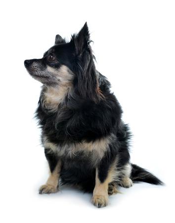 vertebrate animal: Small breed dog Chihuahua isolated on white background.