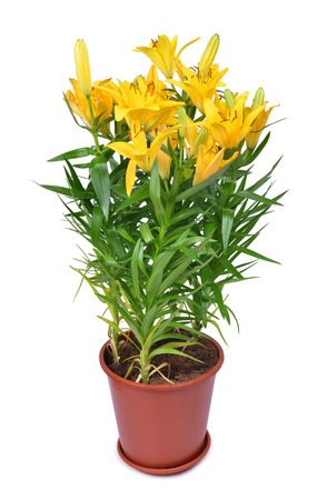 floral objects: Yellow lily flowers in pot isolated on white background.