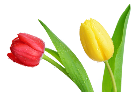 tulip: Dew drops on red and yellow tulip isolated on white background. Stock Photo