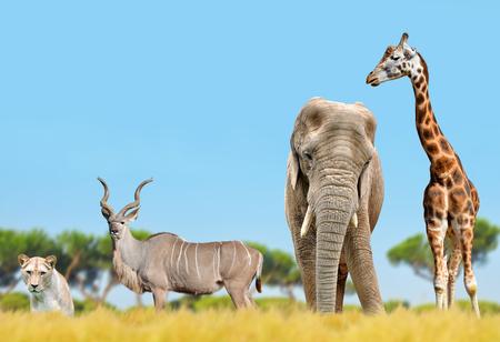 African elephant, giraffe, kudu and a lion on the savannah.