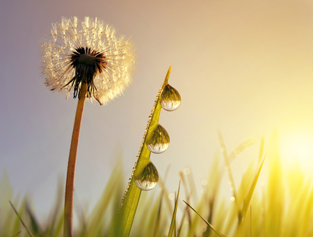 Sun flower: Dandelion flower and blades of grass with dew drops at sunrise. Spring season.