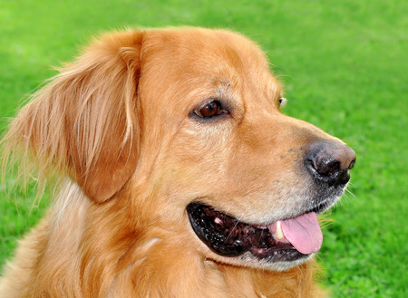 Portrait of adult  hovawart dog . Stock Photo