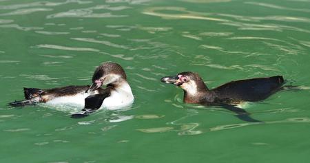 vertebrate animal: The Humboldt Penguins (Spheniscus humboldti) swimming in the water.
