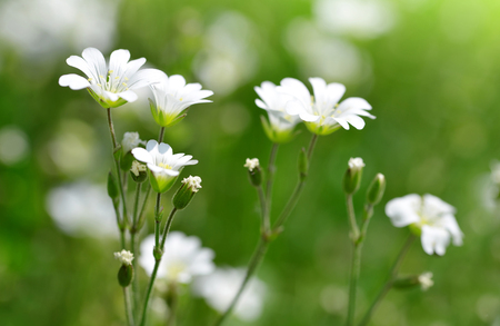 Small white flowers Chickweed or Cerastium arvense on meadow. Stock Photo
