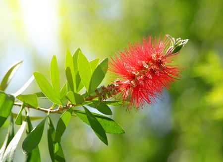 callistemon citrinus: Red Bottlebrush flower ( Callistemon citrinus ) on green natural background. Stock Photo