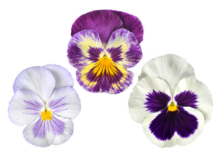 fragility: Pansies flower isolated on white background.
