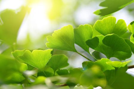 イチョウ葉の緑の葉と枝。