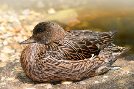 falcata: Female Falcated Duck ( Anas Falcata )