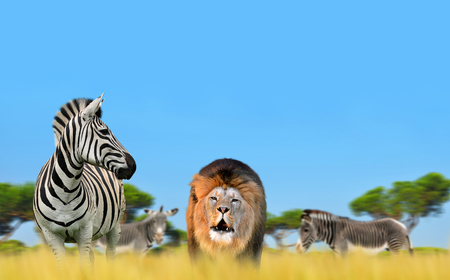 Lion with zebra on the savannah. Stock Photo