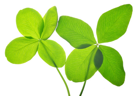 clovers: Four leaf clovers isolated on white background. Stock Photo