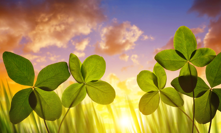 clovers: Four leaf clovers close up at sunset. Stock Photo