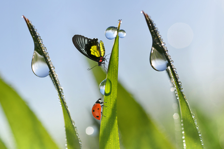 Ladybug and butterfly on fresh green spring blades of grass with dew drops closeup.