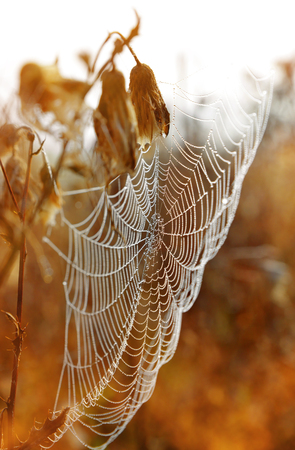 Spider web with dew drops at sunrise closeup Stock Photo