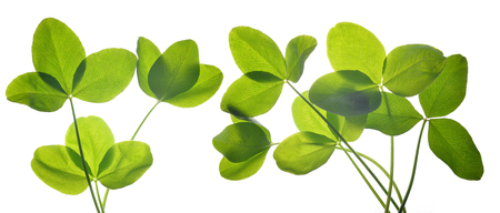 Fresh green leaves of clover isolated on white background.
