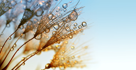 Dew drops on a dandelion seeds at sunrise close up. Standard-Bild