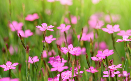Close-up blooming carnation pink flower (Dianthus caryophyllus) in garden. Stock Photo