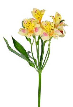 Alstroemeria flowers isolated on a white background Standard-Bild