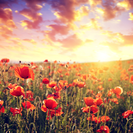 Red poppy flowers in the spring field at sunset. Foto de archivo