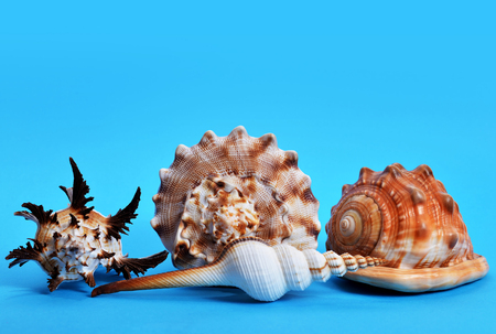 Collection of tropical conch shells isolated on blue background. Sea life. Stock Photo