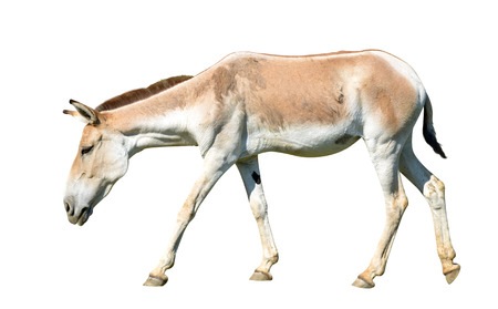 Turkmenian kulan (Equus hemionus kulan) isolated on a white background. Banco de Imagens