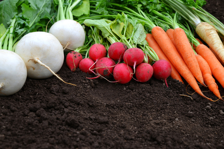 White and red radish,carrots and parsley on a soil. Fresh garden harvest.