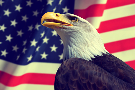 Portrait of a Bald Eagle in the background American flag. Stock Photo
