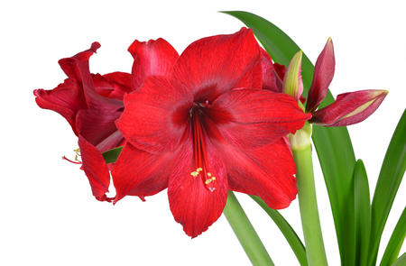Red Amaryllis flower with green leaves isolated on white background. Stock Photo