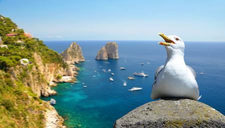 Seagull sitting on a rock, at the background Faraglioni rocks. Capri island, Campania region of Italy. 写真素材
