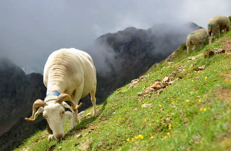 Sheep grazing in a pasture near Col du Tourmalet in Pyrenees mountains. France
