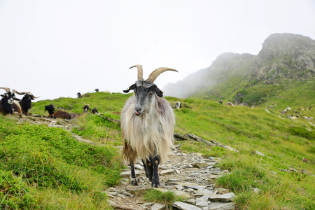 Goats grazing under the mount of Soum de Matte in the Pyrenees mountain. France. 免版税图像