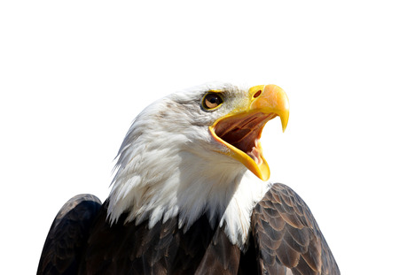 Portrait of a Bald Eagle (Haliaeetus leucocephalus) isolated on white background.