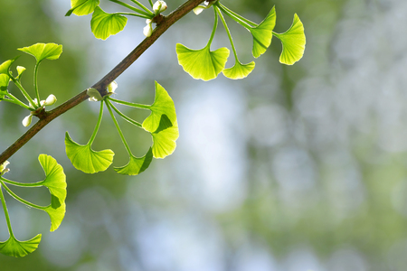 Spring branch with green leaves of Ginkgo Biloba. Nature background with copy space.