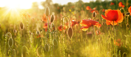 Red poppies in bright evening light. Wildflowers on field at sunset.Spring season.