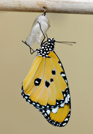 Plain Tiger (Danaus chrysippus).