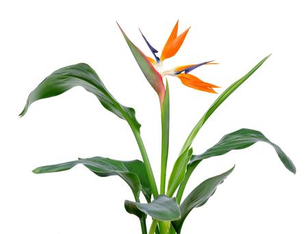 Strelitzia reginae, bird of paradise flower isolated on a white background.