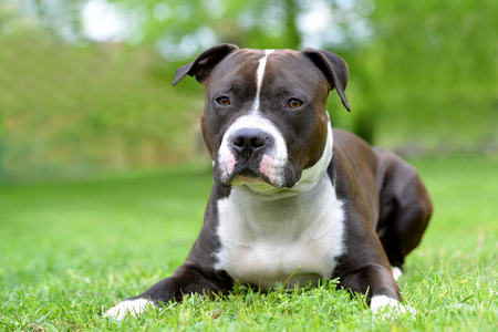 American Staffordshire Terrier or Amstaff or Stafford. Portrait of a dog lying on the grass. Stockfoto - 125212512