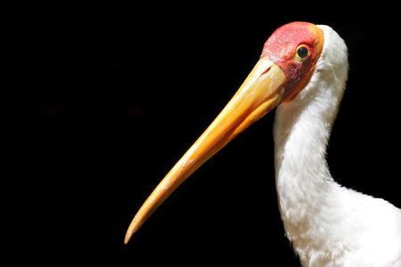Yellow billed stork (Mycteria ibis).