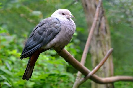 Pink-headed Imperial Pigeon (Ducula rosacea) on a branch of a tree. Bird living in Indonesia. 版權商用圖片