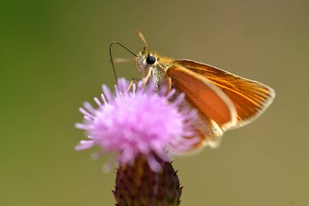 Small orange butterfly Essex Skipper (Thymelicus linola) sitting on a thistle flower. Banque d'images - 128381670