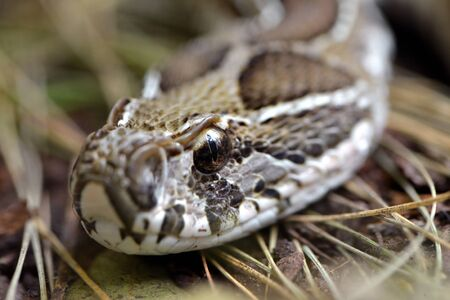 Russell's Viper (Daboia russelii) closeup, Venomous snake living in South Asia. Stock Photo
