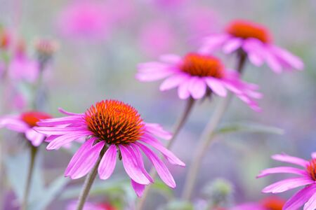 Blooming purple coneflower - Echinacea purpurea. Flowers with blurred background. Asteraceae family.