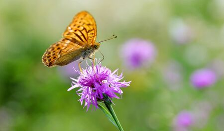 Dark green fritillary butterfly (Argynnis aglaja) sitting on a purple flower knapweed (Centaurea jacea).